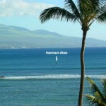 Maui Whale Watching in our Kihei bay